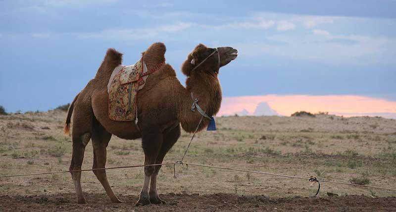 camel from remotelands.com