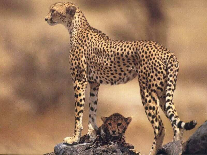 20130516083853-baby Cheetah and cub beautiful african safri animals Cheetah big cats big five dangerous animal attack news picture