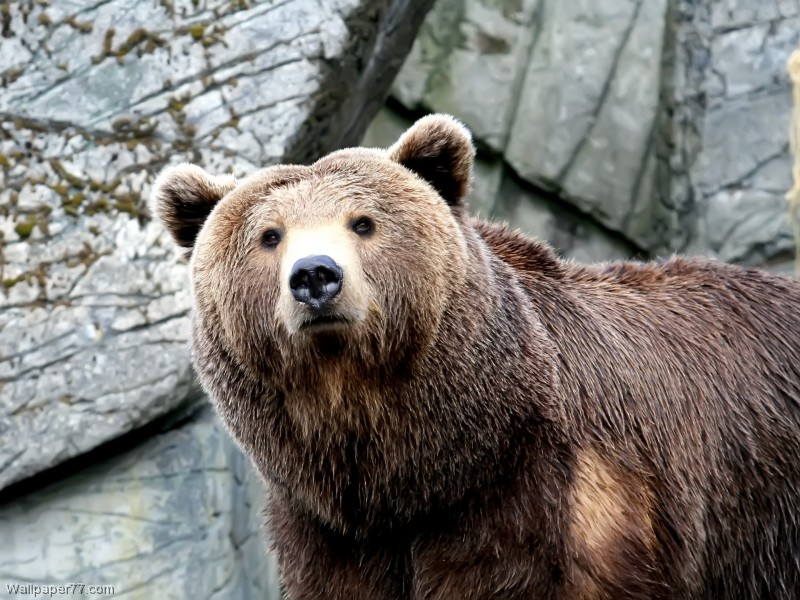 Wet-Brown-Bear-bear-800x600